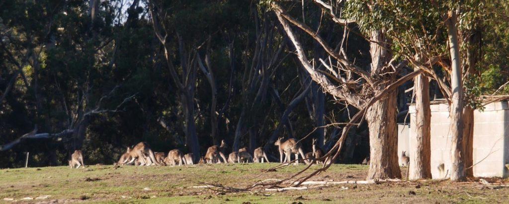Kangaroos at Tolka Cottage