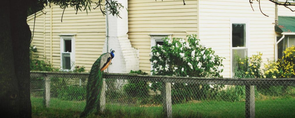 Peacock outside Tolka Cottage