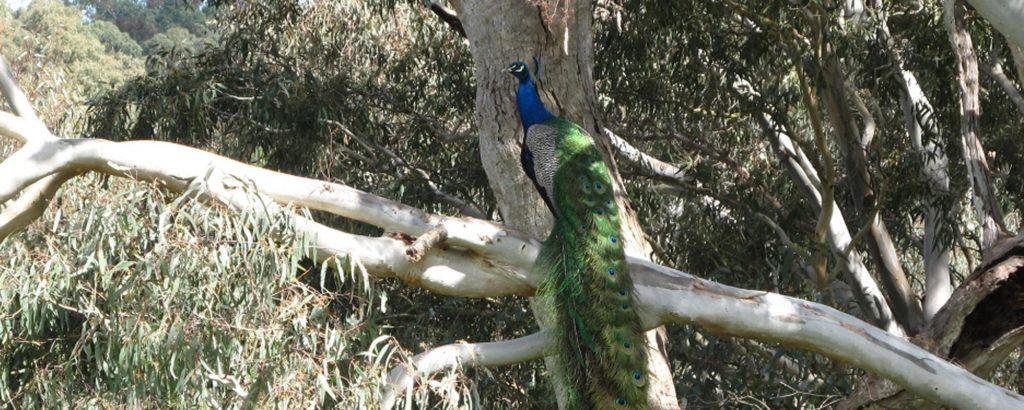 Peacock in gum tree at Tolka Cottage